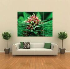 La marihuana Flor Nuevo Poster Gigante De Pared Art Print imagen G780