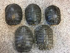 5 Real Turtle Shells - 8 - 9 inch Long - Red Eared Slider - Taxidermy Biology