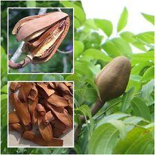 Swietenia macrophylla 20 Seeds, Sky fruit, Mahagony, Mahoni, From Thailand Rare