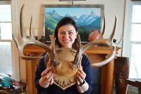 """Large Brown Montana 5 point White Tail Deer Cap Mount 18"""" Span"""