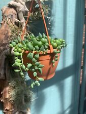 Senecio Rowleyanus Large leaf String of Pearls Succulent in 12cm hanging pot