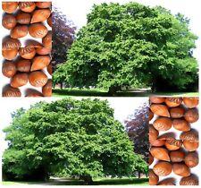 (10) American Hazelnut Filbert Corylus Americana Seeds EDIBLE NUTS  -  Comb. S&H