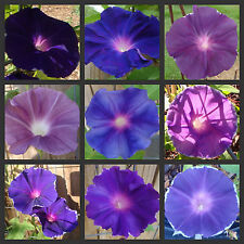 Twilight Mix Morning Glory | 20 Seeds | Many Different Vine Colors