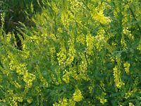 Clover- Yellow Sweet- Melilotus Officinalis- 200 Seeds