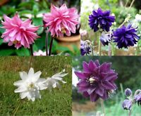 COLUMBINE BARLOW MIX - 100 seeds  - Aquilegia vulgaris var stellata - PERENNIAL