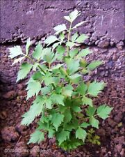 Herb-Levisticum officinale - 50 seeds - Leustean - Perennial