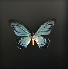 Rare Papillon Papilio Zalmoxis d'Afrique naturalisé sous cadre bois laqué noir