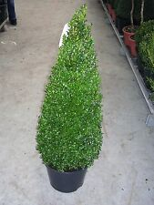 2 Buchsbaum-Kegel / Pyramide,  Höhe: 100 cm, Buxus sempervirens + Dünger
