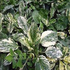 20+  Variegated Plantain Flower Seeds / Plantago Major Variegata / Perennial