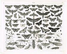 ORIGINAL ANTIQUE PRINT VINTAGE 1851 ENGRAVING ENTOMOLOGY INSECT MOTH WING FLYING
