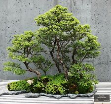 * Ulmus Parvifolia * Glorious Chinese Elm * Bonsai Tree * Rare * 10 Seeds *