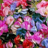 50+ Lathyrus Sweet Pea Mix / Most Fragrant / Re-Seeding Annual Flower Seeds