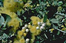 Southern Cross Silver Mallee (Eucalyptus crucis) - Seed