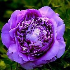FD696 20Seeds Chinese Purple Peony Flower Seed Beautiful Hot Flora Garden 20pc ✿