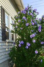 Rose of Sharon Hibiscus Syriacus Hardy Mixed colors 200+ seeds from Canada