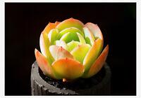 1-cut 5cm Echeveria Peach Pride Succulent live Plant Home Garden Rare Flower pot