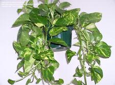 Golden Pothos Vine (epipremnum aureum) Partially-Rooted Starter Vine