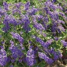 6 x GEISHA GIRL DURANTA repens dark blue flowers plants in 40mm pots