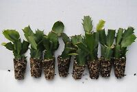 U Pick Any 8 Christmas Cactus/Schlumbergera Plants 125+ Varieties to Choose From