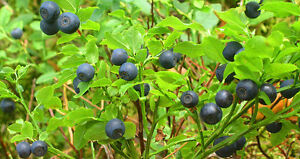 20 BILBERRY Fruit Shrub European Blueberry Vaccinium Myrtillus Seeds *Flat S/H