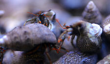 ''AQM'' 10 CARIBBEAN BLUE LEG HERMIT CRAB,FISH, MARINE, Scarlet ,Emeralds ,crabs