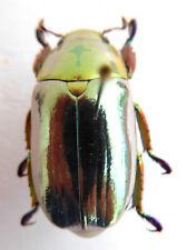 Chrysina (plusiotis) Species??? ex Costa Rica k9-28
