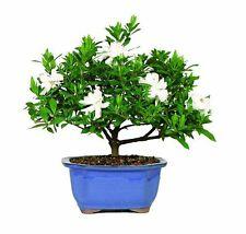 "Gardenia Outdoor Bonsai Tree - Blooms from March thru June 10"" Glazed Oval Pot"