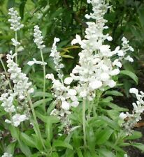 Salvia Farinacea Victoria White - Mealycup sage - 50 seeds  - Annual