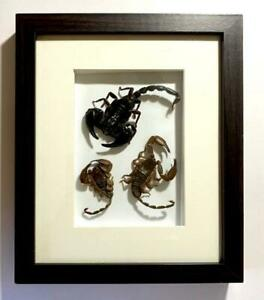 Three Scorpions in Elegant Wooden Picture Frame, with Glass in front