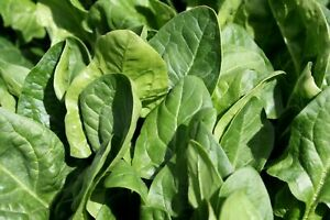 BABY SPINACH Seeds 100+ Seeds - Salad Leaves