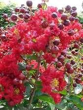 Lagerstroemia indica,Indische Kreppmyrte, frosthart, exotische,10 Samen,10 seeds