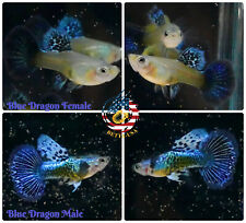 1 Trio - Live Aquarium Guppy Fish High Quality - Blue Dragon - Usa Seller