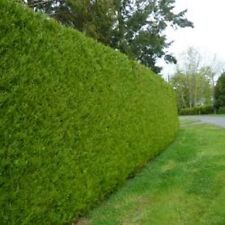 24 X - THUJA EVERGREEN GIANT TREES - VERY THICK GROWING CONIFER PRIVACY HEDGE !