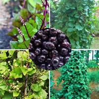 100 Stücke Gynura Cusimbua Malabar Spinat Samen Bio Gemüse Gartenpflanze S7B3