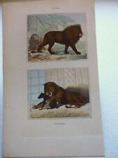 Gravure couleur 19°:Mammifères:Le lion...la lionne