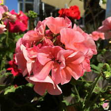 PEACHY PINK GERANIUM BUSH Pelargonium vibrant flowers plant in 140mm pot