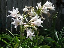 Crinum Lily, Herbertii 'Greenwood Cemetery', Large, blooming-size bulb