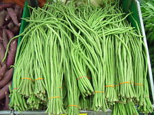 CHINESE ASPARAGUS BEAN ENORMOUS 3 FOOT BEANS TENDER AND DELICIOUS 30 FRESH SEEDS