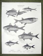 Fishes Herring Cyprinus Minow Polyneme - 1820 Abraham Rees Antique Print