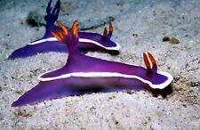 """AQM"" FANCY PURPLE NUDIBRANCH, CRAB, SNAIL, Live Coral, INVERTS, CLEANER CREW"