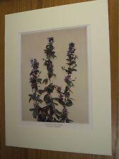 Vintage 1921 Botanical Wildflower Matted Art Print - Wandlike Bush Clover