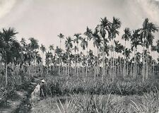 INDOCHINE c. 1940 - Cocotiers et Ananas - DIV 9978