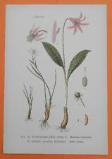 Hunds-Zahnlilie (Erythronium dens-canis) Lilie  THOME Lithographie 1890