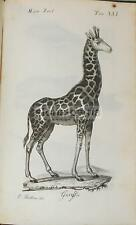 STORIA NATURALE_ZOOLOGIA_GIRAFFA_BELLA ANTICA INCISIONE_ARTISTA BETTINI_'800