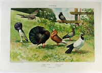 Pigeons - Original 1902 Dated Stone Chromo-lithograph by Julius Bien Antique