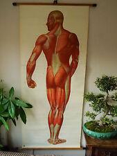 Vida Vintage Tamaño Anatómico Escuela Gráfico humanos Muscular sistema 1965 (f16/15)