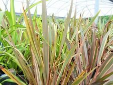 Phormium tenax Mixed (New Zealand Flax) - 25 seeds. Bold, Architectural Plants.