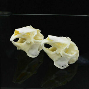 2Pcs Cottontail Rabbit Skull specimen Animal bone specimen Natural Bone Quality