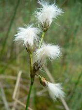 8 graines de Linaigrette Grêle(Eriophorum Gracile)G963 SLENDER COTTONGRASS SEEDS