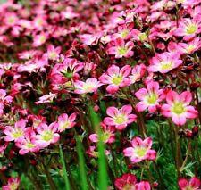 SAXIFRAGE ROSE ROBE Deep Pink Saxifraga Ardensii Perennial Ground Cover 50 Seeds